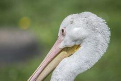 Sadla den fakturerade storken, fjäderdräkt, fjädrar, räkningen, djurliv, natur, Arkivbild