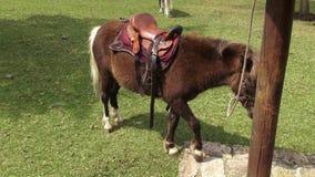 Sadlad ponny, hästar, lantgårddjur arkivfilmer