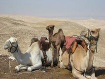 Sadlade kamel som kopplar av i öken Fotografering för Bildbyråer