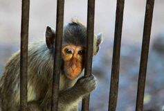 Sadly eyes of monkey. In the cage at the zoo Stock Photo