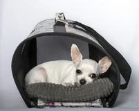 Sadness, bad mood, black nose and big chihuahua ears. A small white Chihuahua dog with a black nose and big ears is lying in a doghouse in a bad mood, sad royalty free stock photography