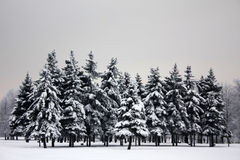Sadness dark fir-trees in winter Stock Images