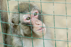 Sadness, melancholy ... Portrait of a monkey sitting in a cage Royalty Free Stock Photo