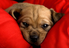 Sadness Puppy. Sadness cute puppy with the snout over a red cushion Royalty Free Stock Photography