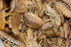 Benthic isopod. Saduria entomon is a benthic isopod crustacean of the family Chaetiliidae Royalty Free Stock Photos