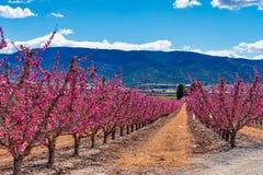 Sady w kwiacie Kwitn?? owocowi drzewa w Cieza, Murcia Hiszpania zdjęcia royalty free