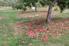 Sady w Quebec w jesieni Obrazy Stock