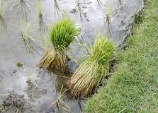 Sadzonkowi ryż Fotografia Stock