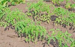 sadzonkowy pomidor Obrazy Royalty Free