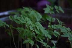Sadzonkowy pomidor Obrazy Stock