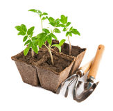 Sadzonkowy pomidor z ogrodowymi narzędziami Obrazy Royalty Free