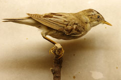 Saedge warbler taxidermy Royalty Free Stock Images