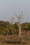 Safai in the Yala Nationalpark Royalty Free Stock Photo