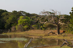 Safai in the Yala Nationalpark Royalty Free Stock Photo