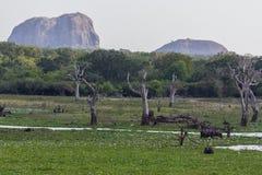 Safai in the Yala Nationalpark. Safari in the Yala Nationalpark in Sri Lanka Stock Photography