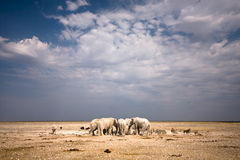 Safari. African elephants, safari Etosha, Namibia Royalty Free Stock Photos