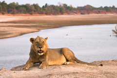 Safari. Wild lion resting, Safari South Luangwa, Zambia Africa Royalty Free Stock Photos