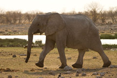 Safari. African elephant , safari Etosha, Namibia Africa Royalty Free Stock Images