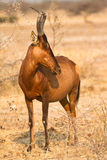 Safari. Wild Red Hartebeest antelope, safari Etosha, Namibia Africa Stock Photography