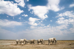 Safari. Elephants herd under sky, safari Etosha, Namibia Africa Royalty Free Stock Photos