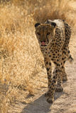 Safari. Cheetah portrait, safari Etosha, Namibia Africa Royalty Free Stock Image