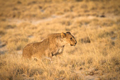 Safari. Wild lion hunting, safari Etosha, Namibia Africa Stock Photo