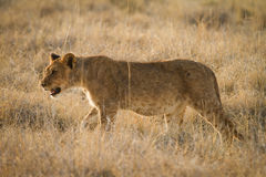 Safari. Wild lion hunting, safari Etosha, Namibia Africa Royalty Free Stock Photo