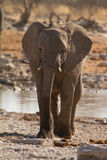 Safari. African elephant, safari Etosha, Namibia Africa Stock Photography
