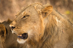 Safari. Wild lion portrait, safari South Luangwa, Zambia africa Stock Photo