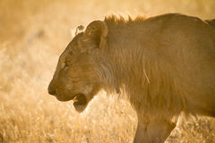 Safari. Wild lion portrait, safari Etosha, Namibia Africa Royalty Free Stock Photography
