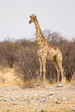 Safari. Giraffe ,safari Etosha, Namibia Africa Royalty Free Stock Photo