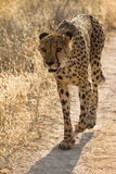 Safari. Wild cheetah , safari Etosha, Namibia Africa Royalty Free Stock Photo