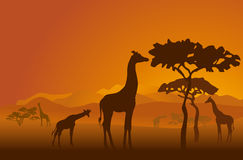 Safari-2. Silhouettes of giraffes in national park of Kenya Stock Images