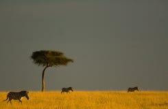 On safari Stock Photography