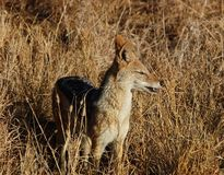 Safari. A wild blackbacked jackal (Canis mesomelas) photographed in Mpumalanga, South Africa Royalty Free Stock Image