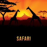 safari Photo stock