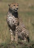 On safari Royalty Free Stock Images