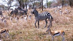 safari stock foto's