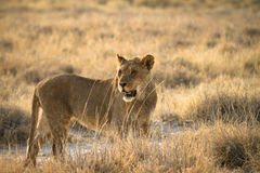 Safari Africa Royalty Free Stock Images