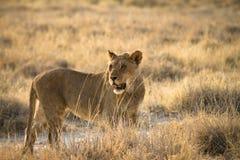 Safari Africa. Wild lion portrait, safari Etosha, Namibia Africa Royalty Free Stock Images