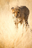 Safari Africa. Cheetah , Safari Etosha, Namibia Africa Stock Photo