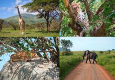 Safari in Africa. set of wild animals. Royalty Free Stock Photos