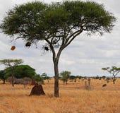 Safari in Africa Tarangiri-Ngorongoro. Jeep, road, road to paradise, travel, jeep ride, jeep safari, guide, trees in Africa, safari in Tanzania, savanna in royalty free stock photography
