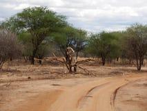 Safari in Africa Tarangiri-Ngorongoro. Jeep, road, road to paradise, travel, jeep ride, jeep safari, guide, trees in Africa, safari in Tanzania, savanna in stock photo