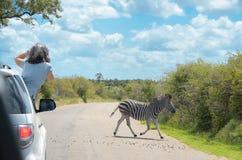 Safari in Africa, woman making zebra photo from car, travel in Kenya, savannah wildlife Royalty Free Stock Image