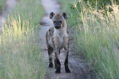 safari africain d'hyène du sud photographie stock