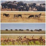 Safari. African safari in Etosha,Namibia Royalty Free Stock Photo