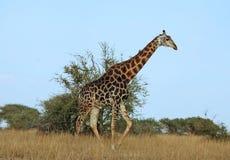 Safari africano dos animais selvagens: Giraffe Imagens de Stock