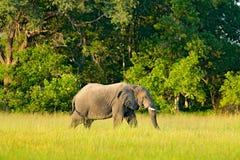 Safari africano Elefante nell'erba Scena della fauna selvatica dalla natura, elefante nell'habitat, Moremi, delta di Okavango, Bo fotografia stock libera da diritti