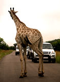 Safari africano. Giraffe Fotos de Stock